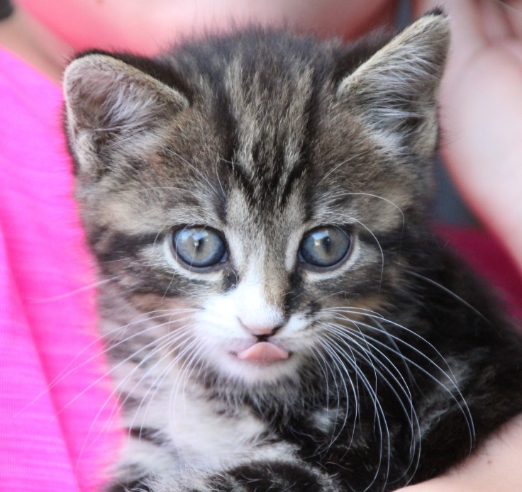 young-cat-2408448_1920